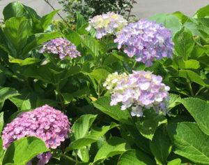 近くの公共花壇に咲いたアジサイです